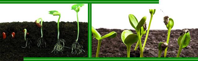 Как прорастают семена?