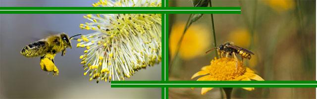 Сколько цветков могут опылить пчёлы?