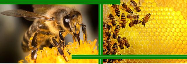 Почему пчёлы жалят?
