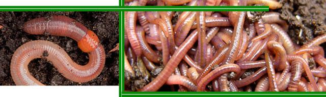 Почему дождевые черви полезны для сада?