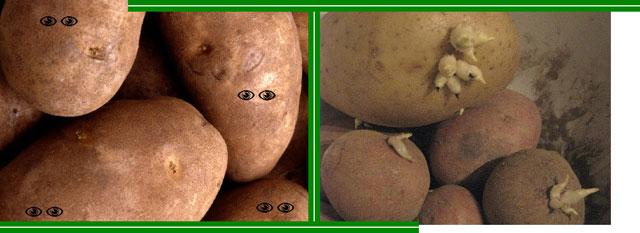 Картофель видит своими глазками?